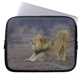 Male Lion Stretching Panthera Leo Yoga Computer Sleeve