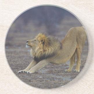Male Lion Stretching Panthera Leo Yoga Drink Coaster