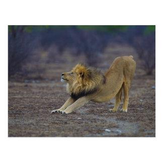 Male Lion Stretching Panthera Leo Yoga Postcard