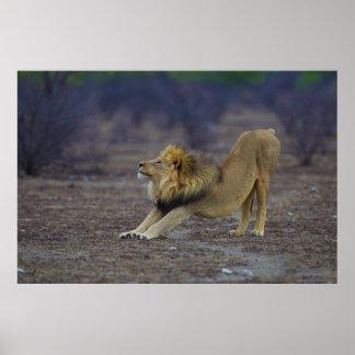 Male Lion Stretching Panthera Leo Yoga Print