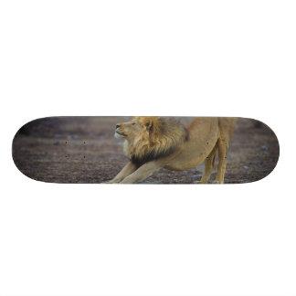 Male Lion Stretching Panthera Leo Yoga Skateboard