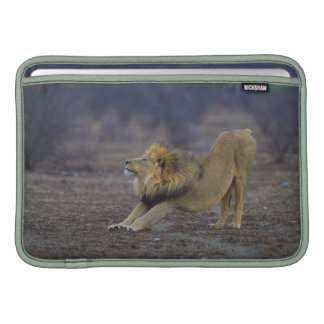 Male Lion Stretching Panthera Leo Yoga Sleeve For MacBook Air