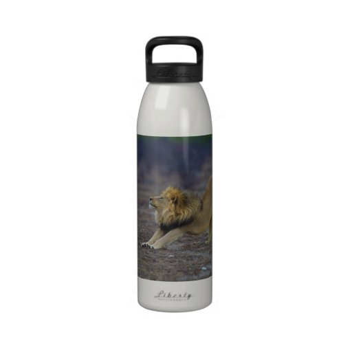 Male Lion Stretching Panthera Leo Yoga Water Bottle