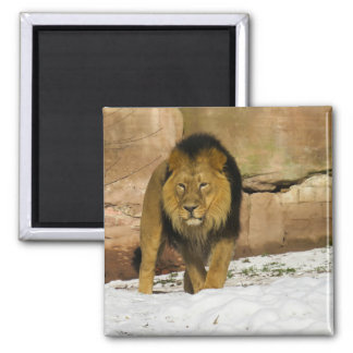 Male Lion Walking 2 Inch Square Magnet