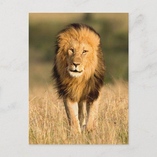 Male Lion Walking Postcard