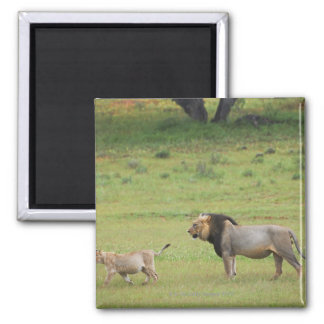 male lion with cub, Panthera leo, Kgalagadi 2 Inch Square Magnet