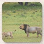 male lion with cub, Panthera leo, Kgalagadi Beverage Coasters