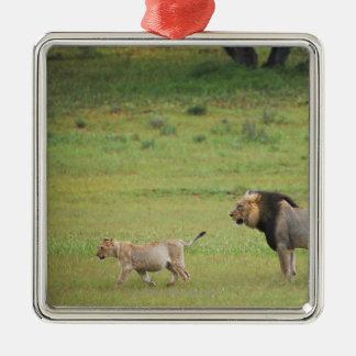 male lion with cub, Panthera leo, Kgalagadi Metal Ornament