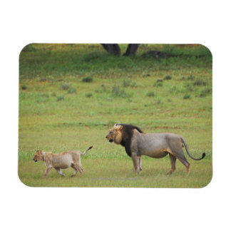 male lion with cub, Panthera leo, Kgalagadi Rectangular Photo Magnet