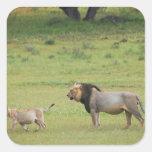 male lion with cub, Panthera leo, Kgalagadi Square Sticker