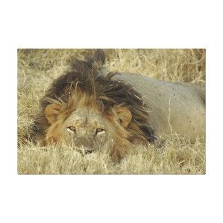 MALE LION wrapped canvas photo print