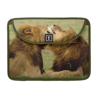 Male Lions Panthera Leo Grooming Maasai Mara Sleeve For MacBook Pro