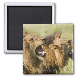 Male lions roaring, Greater Kruger National 2 Inch Square Magnet