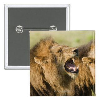 Male lions roaring, Greater Kruger National Pins