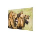 Male lions roaring, Greater Kruger National Canvas Print