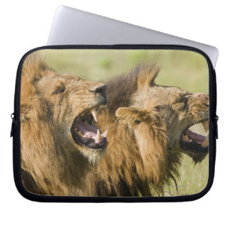 Male lions roaring, Greater Kruger National Computer Sleeves