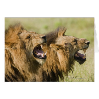 Male lions roaring, Greater Kruger National Greeting Card
