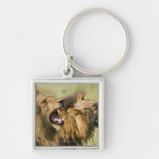 Male lions roaring, Greater Kruger National Keychain
