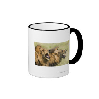 Male lions roaring, Greater Kruger National Ringer Coffee Mug
