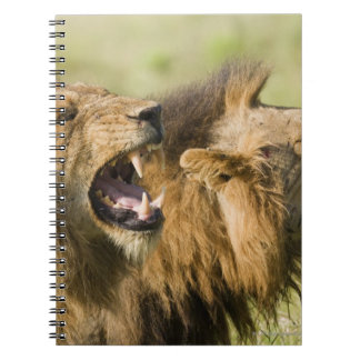 Male lions roaring, Greater Kruger National Notebook
