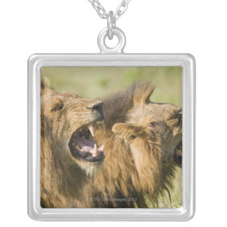 Male lions roaring, Greater Kruger National Silver Plated Necklace
