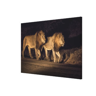 Male Lions Walking at Night Canvas Print