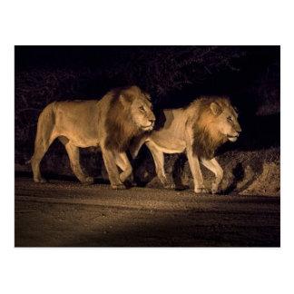 Male Lions Walking at Night Postcard