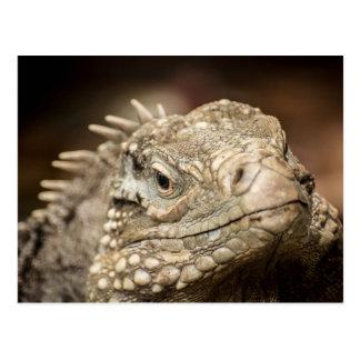 Male Little Cayman Rock Iguana Postcard