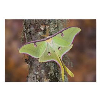 Male Luna Silk Moth of North American Photo Print