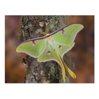 Male Luna Silk Moth of North American Postcard