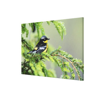 Male Magnolia Warbler, Dendroica magnolia Canvas Print