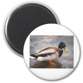 Male Mallard Duck 2 Inch Round Magnet