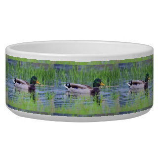 Male mallard duck floating on the water bowl