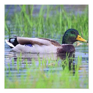 Male mallard duck floating on the water card