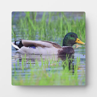 Male mallard duck floating on the water plaque
