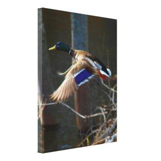 Male Mallard Duck In Flight Canvas Print