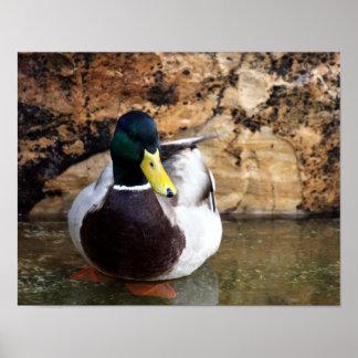 Male Mallard Duck Print
