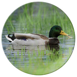 Male mallard duck swimming in a pond with grass plate