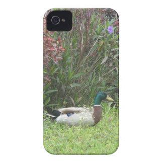 Male Mallard Ducks Case iPhone 4 Case-Mate Cases