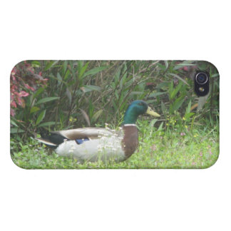 Male Mallard Ducks iPhone 4 Cases