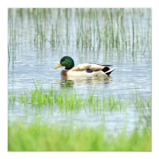 Male mallard or wild duck, anas platyrhynchos card