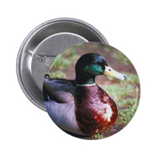 Male Mallard Pinback Button