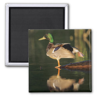 Male mallard stretching, Illinois 2 Inch Square Magnet