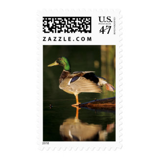 Male mallard stretching, Illinois Postage Stamp