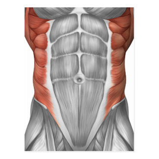 Male Muscle Anatomy Of The Abdominal Wall Postcard