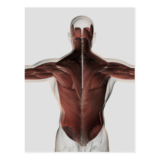 Male Muscle Anatomy Of The Human Back 2 Postcards