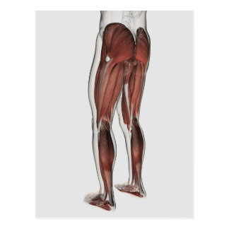 Male Muscle Anatomy Of The Human Legs 1 Postcards