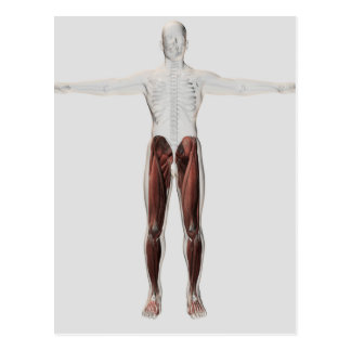 Male Muscle Anatomy Of The Human Legs, Anterior 2 Postcard