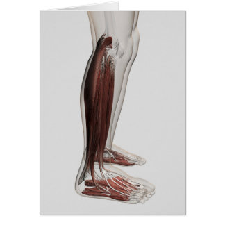 Male Muscle Anatomy Of The Human Legs, Anterior 3 Greeting Cards