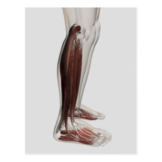 Male Muscle Anatomy Of The Human Legs, Anterior 3 Postcard